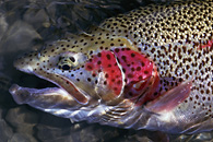 Rainbow Trout Fiberglass Reproductions