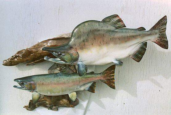 Pink Salmon Fish Mount