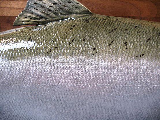 Silver Salmon Detail
