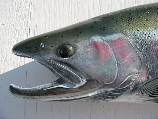Steelhead Salmon Painting http://www.rltaxidermy.com/fish_mounts/steelhead_closeup_pic_49.htm