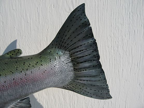 Steelhead Reproduction
