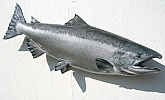 Chinook Salmon Fiberglass Fish: Chinook Salmon-Fish Mounted by Mark Oslund