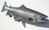 Chinook Salmon Fiberglass Fish: Chinook Salmon-Fish Mounted by Mark Oslund