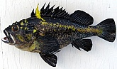 China Rockfish: China Rockfish Skin Mount