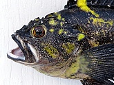 China Rockfish Mount Detail: China Rockfish Fish Mount Detail