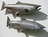 Chinook Salmon Fiberglass Fish Mounts: King Salmon Fish Mounts-Quality Taxidermy Mounts by Mark Oslund