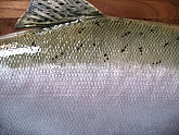 Silver Salmon or Coho Salmon Fish Mount: Silver Salmon Fish Mount - Side Detail of Taxidermy