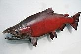 Alaskan King Salmon Skin Mount : Alaskan King Salmon Skin Mount by Mark Oslund