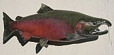 Silver Salmon Reproduction Fish Mount: Silver Salmon Reproduction Mount