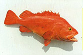 Yelloweye Rockfish Mount: Yelloweye Rockfish Fish Mount
